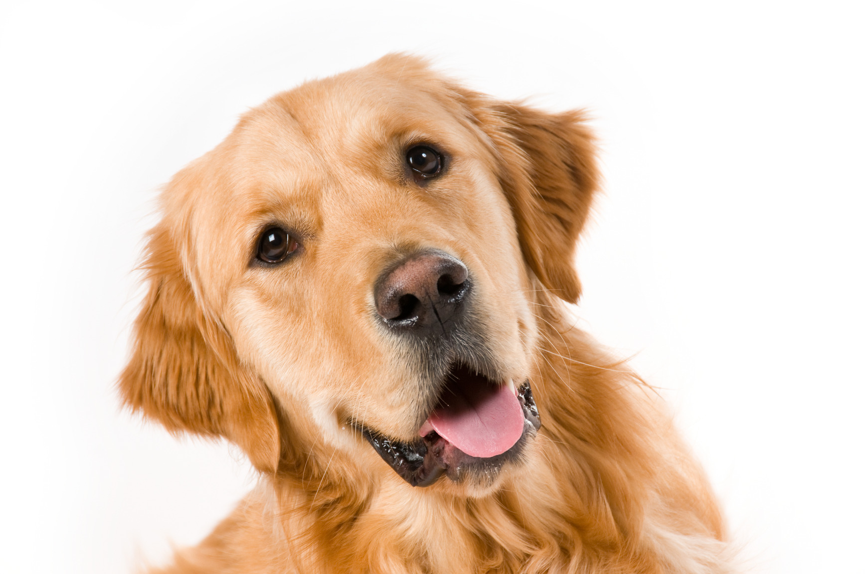 photodune-14536984-golden-retriever-m